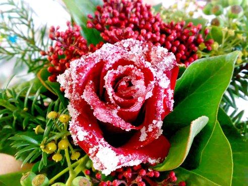Bevroren roosje